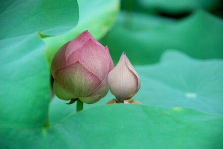 Lotus buds adn green leaf Stock Photo