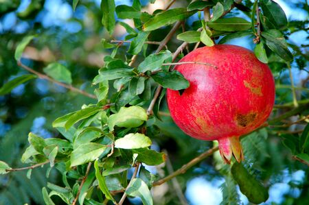 red pomegranates on the tree Stock Photo - 15904909