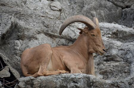 Bighorn Sheep Stock Photo - 17593901
