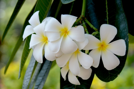 Frangipani flowers white Stock Photo - 18178270