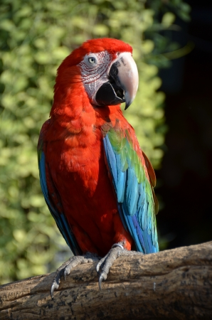 Scarlet Macaw 03 Stock Photo - 18389155