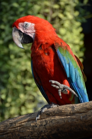 Scarlet macaw, Ara macao Stock Photo - 18389164