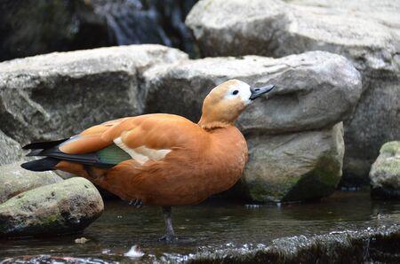 Brown duck Stock Photo - 18389158