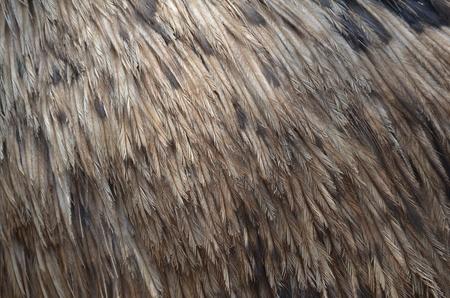 emu: Emu Feather Foto de archivo