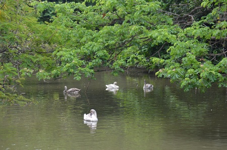 Gaggle of Domestic Geese Swimming photo