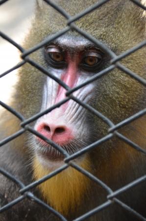 myeloma: Monkey  Stock Photo
