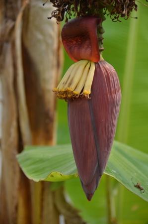 Banana banana blossom photo