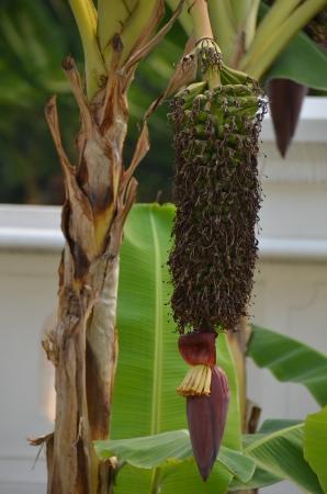 Banana growth Stock Photo