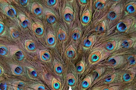 piuma di pavone: Ventilatore della piuma del pavone