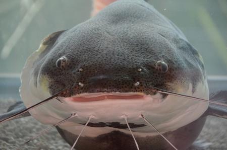 Amazon red tail catfish Stock Photo - 18819569