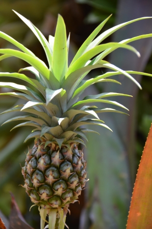 Small Pineapple Plant Stock Photo - 18819611