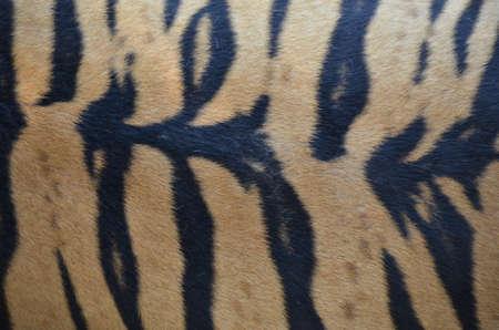 Tiger Skin Background Stock Photo - 18819730