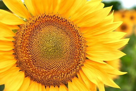 Blooming sunflower grows on a bright yellow color close-up. Flowers of a sunflower.