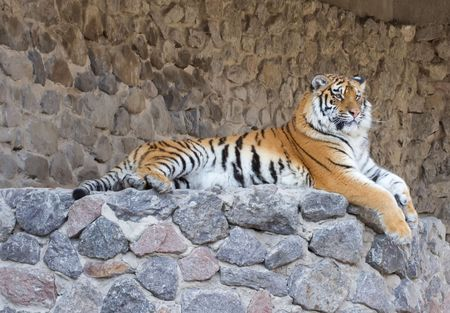 Tiger on the stones in zoo Stock Photo