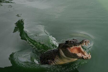 Wild green crocodile in lake