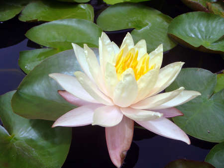 White lotus with green leaves