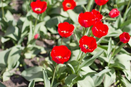 Spring red tulips in sunny day Stock Photo