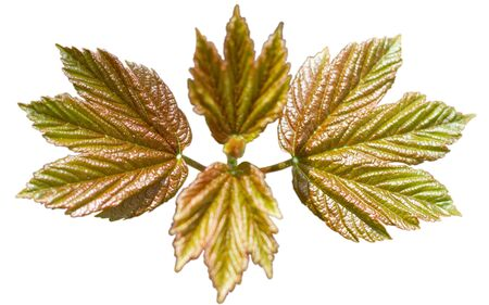 The young maple isolated in white.