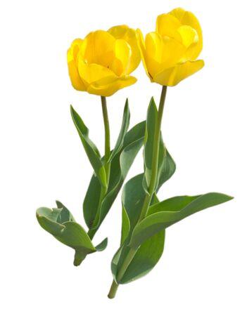 Two yellow tulip love on white background Stock Photo