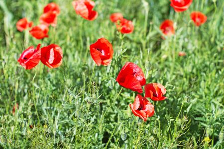 Red poppies on green field Stock Photo - 7166147