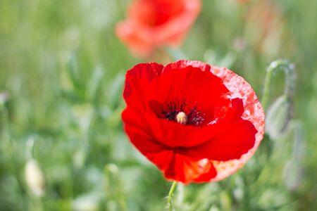 Red poppy on green field Stock Photo - 7166117