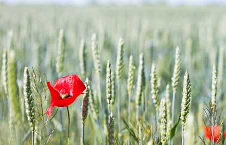 Red poppy and wheat on green field Stock Photo
