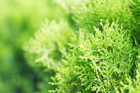 Vibrant green - twigs of thuja  Stock Photo