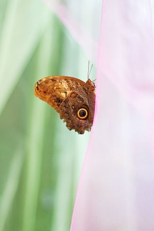 Beautiful brown butterfly sitting on pink silk  photo