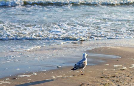 Immature seagull walking on beach Stock Photo