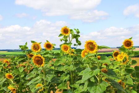 Sunflowers on field and cloudy blue sky