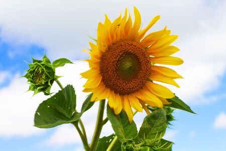 Yellow sunflower and cloudy blue sky