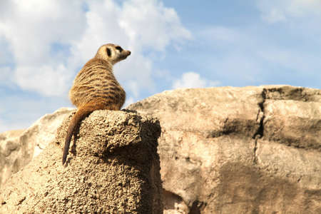A relaxed Meerkat enjoying the view from a rock. Stock Photo - 10437627