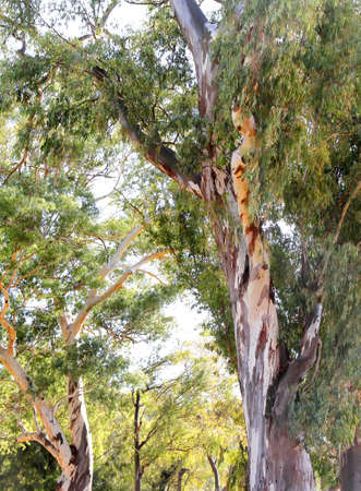 A Eucalyptus tree in Buenos Aires, Argentina. Stock Photo - 10709949
