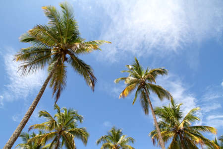 Palm Trees and a beautiful blue sky. Photo taken in Bahia, Brazil, South america. photo