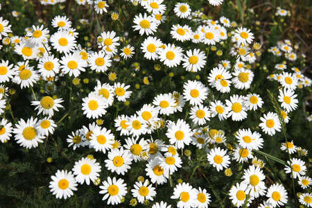 Photo of some wild Daisy Flowers  photo