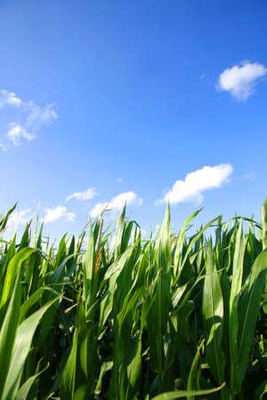 planta de maiz: Un campo de ma�z bajo un cielo azul