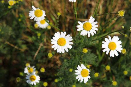 Photo of some wild Daisy Flowers  photo