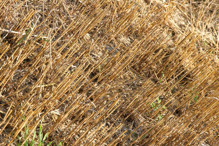 A drought and harvested field with rests of plants  photo