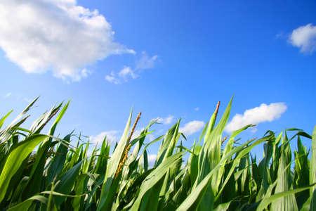 A Corn field under a blue sky