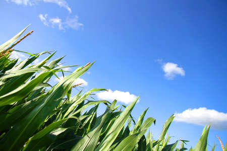 A Corn field under a blue sky