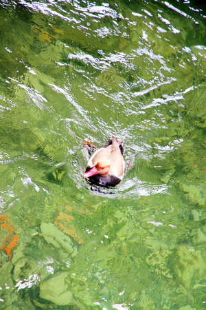 A Swimming Duck in a Lake  photo