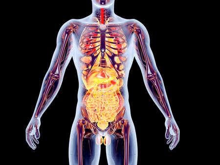 intestinos: El 3D �rganos internos suprarrenal rindi� la ilustraci�n anat�mica