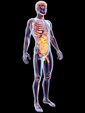aparato reproductor: El 3D �rganos internos suprarrenal rindi� la ilustraci�n anat�mica