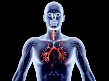 The internal adrenal Organs  3D rendered anatomical illustration Stock Illustration - 16292997
