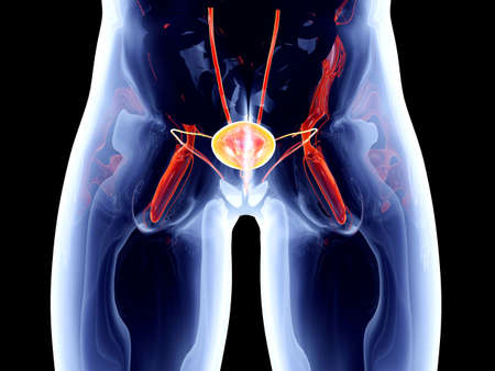 The Bladder  3D rendered anatomical illustration Stock Illustration - 16576219