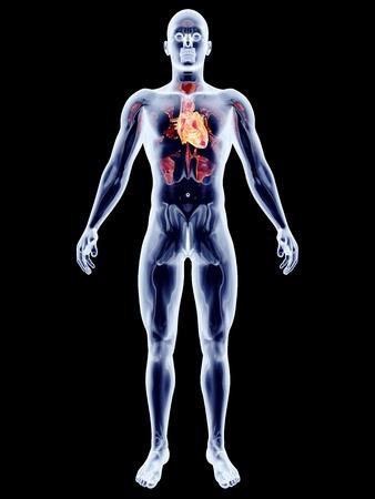 The human heart. 3D rendered anatomical illustration. Stock Illustration - 17470712