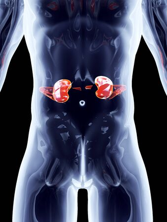 The Kidneys. 3D rendered anatomical illustration. Stock Illustration - 17625744