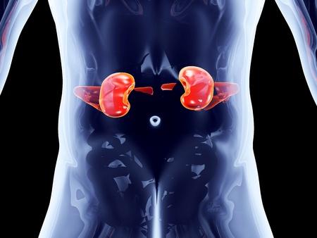 organos internos: Los ri�ones. 3D representa la ilustraci�n anat�mica. Foto de archivo