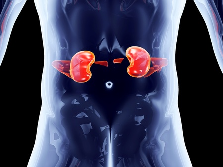 The Kidneys. 3D rendered anatomical illustration. illustration