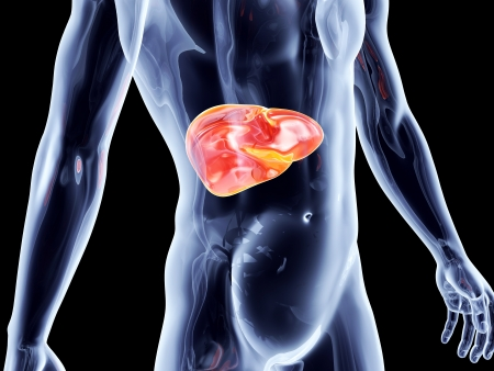 human liver: The Liver. 3D rendered anatomical illustration.